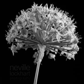 NLP GarlicFlower280213 035 1
