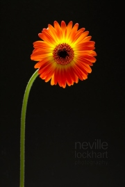 NLP Flowers 260113 185