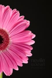 NLP Flowers 260113 237