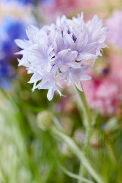 Cornflower: Centaurea cyanus