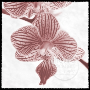 NLP F 310514 034 orchid toned w