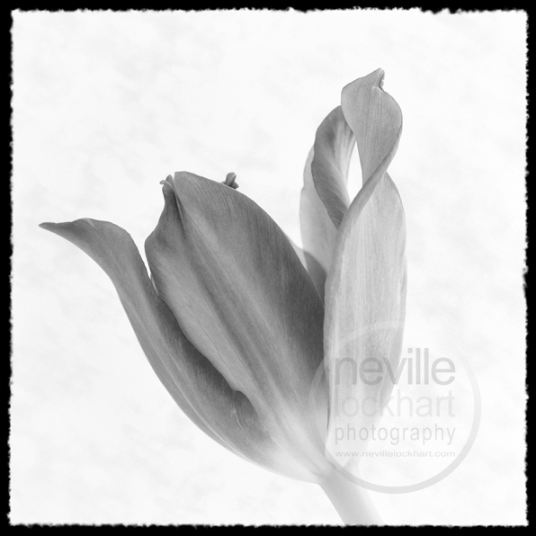 NLP F 310514 034 tulip BW w